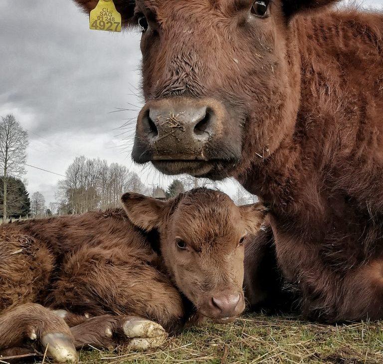 FOTO GANADORA EN CATEGORÍA FLORA Y FAUNA - Fotografía de vaca madre acostada con su bebe